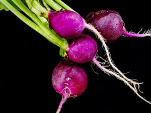 Purple Plum Radish from West Central Foods Southern California